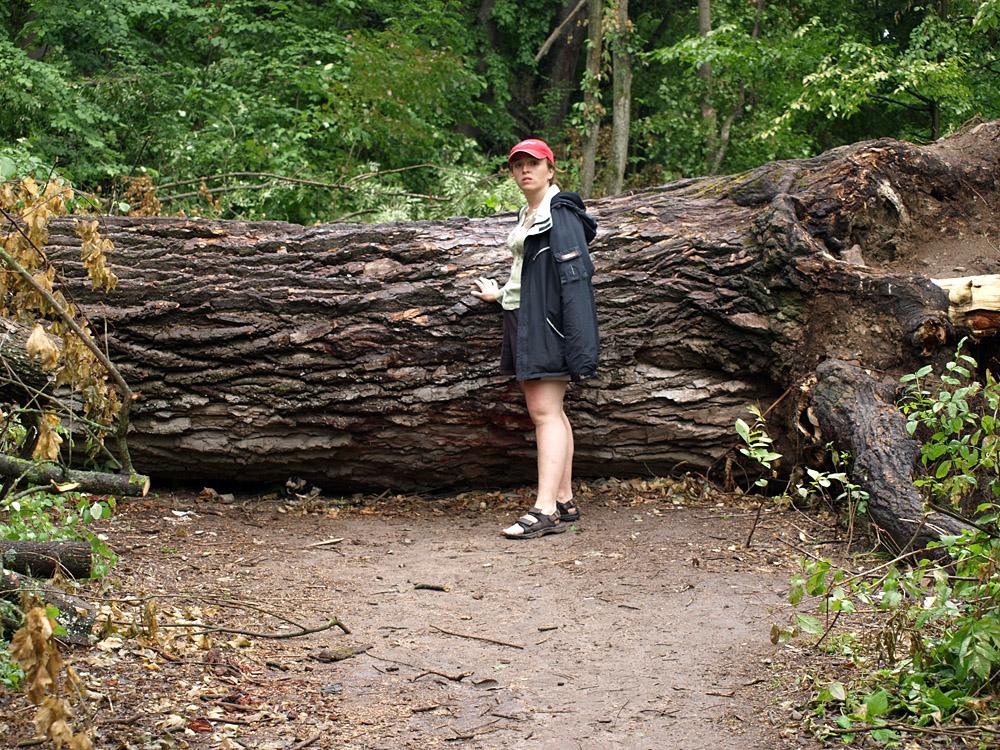 И поваленные деревья такой толщины