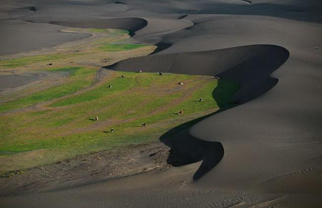 Чили. Коровы на пастбище между дюнами
