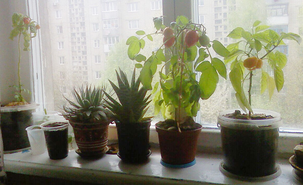 Помидоры на окне
