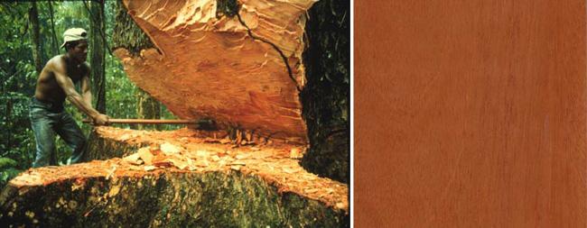 дерево махогани