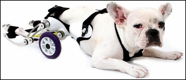 помощь собакам инвалидам