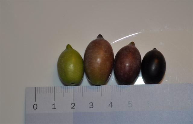 Оливки с одного дерева, разная степень зрелости