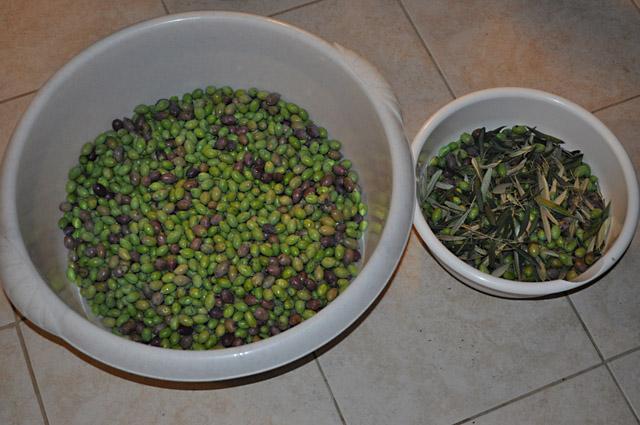 Отделены плохие оливки и попавшие листья