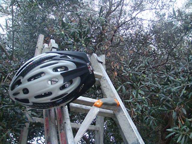 Оливки, процесс сбора. Стремянка, ножовка, велосипедный шлем