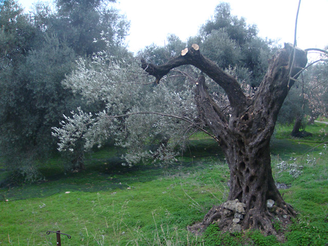 Старое оливковое дерево