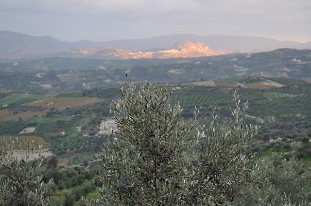 Можно ли из оливковой косточки вырастить дерево?
