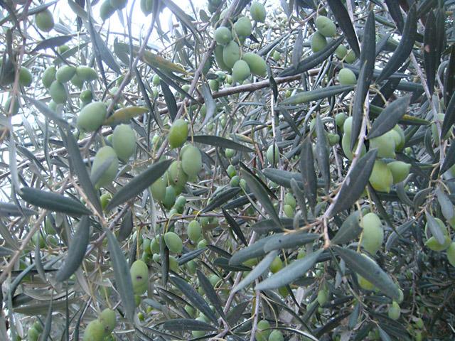 Оливки на ветвях дерева