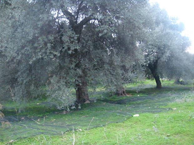Сбор урожая олив, сетки под оливковыми деревьями