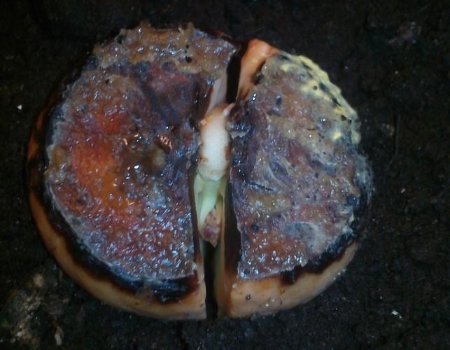 Авокадо из косточки. Росток