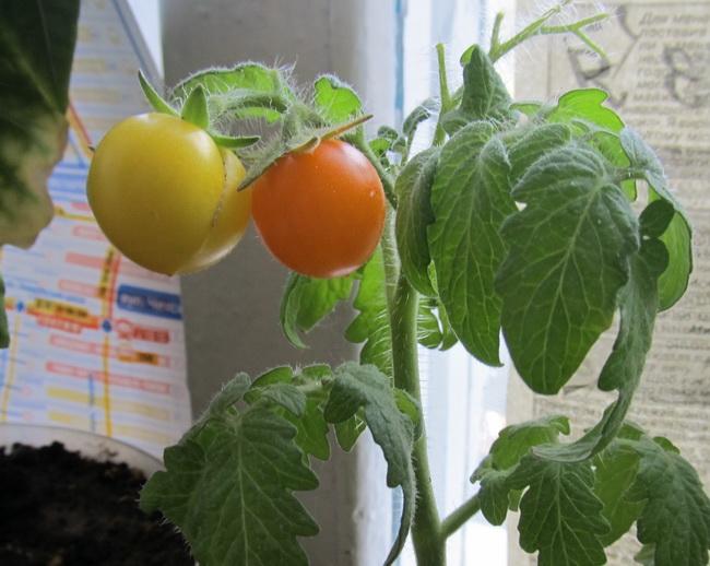 помидор на балконе