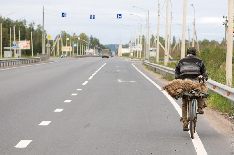 Перевозка овцы велосипедом
