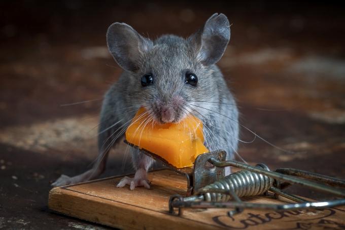 Смелый мышонок