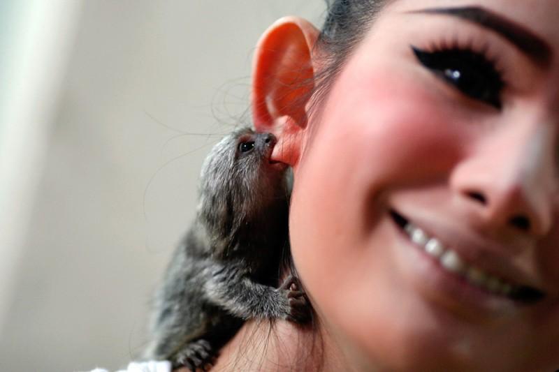 Двухмесячная обезьянка кусает за ухо участника