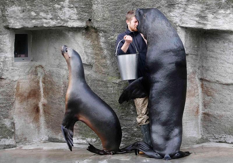 Сотрудник зоопарка в городе Вена смотрит в рот южного морского льва