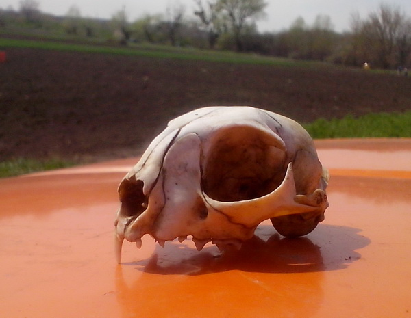 череп динозавра из огорода