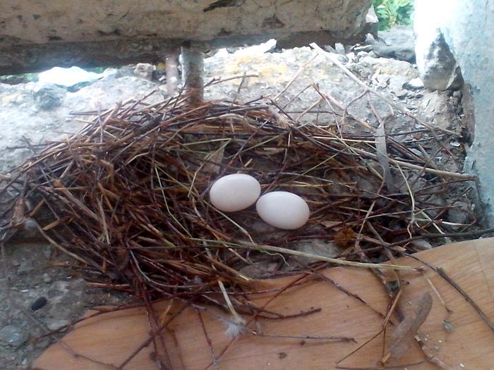 голубиное гнездо на балконе