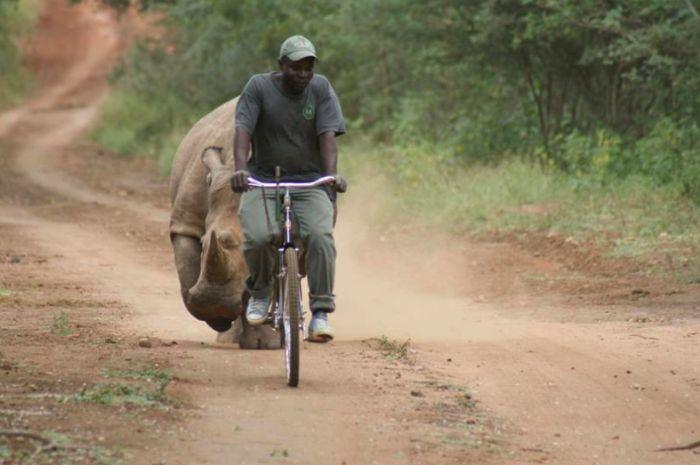 носорог против велосипедиста