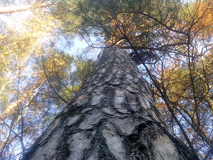 дерево вид снизу