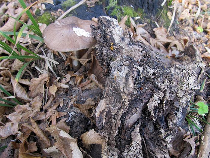 растет гриб