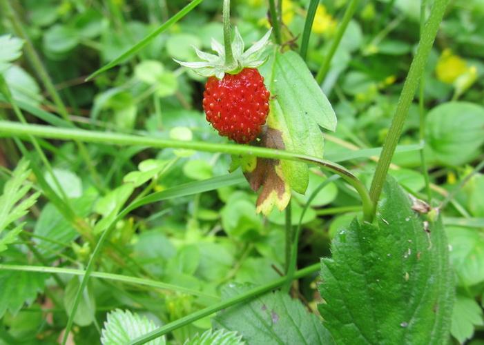 земляника strawberry