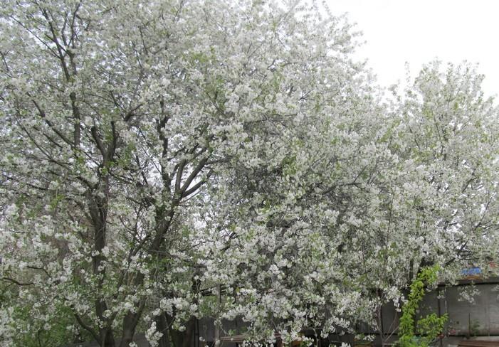 густо цветет вишня
