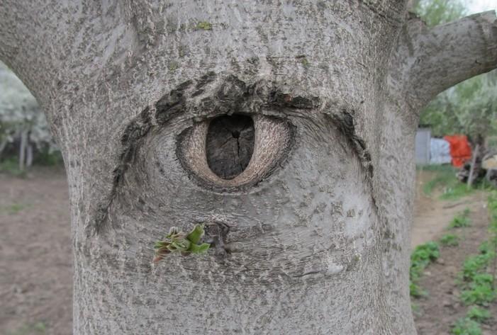 глаз дерева